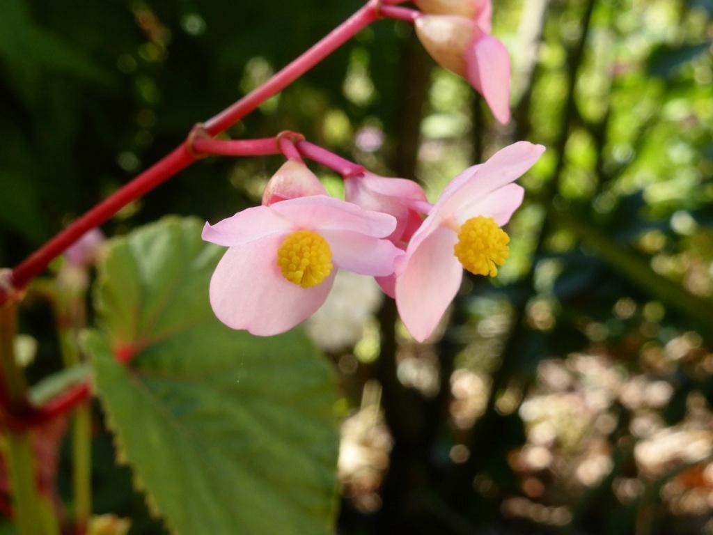 Begonia grandis (evansiana) P1220635