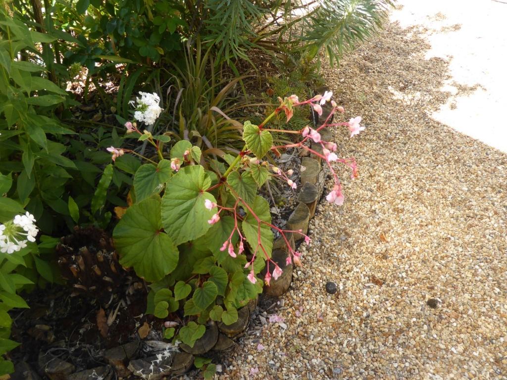 Begonia grandis (evansiana) P1220636