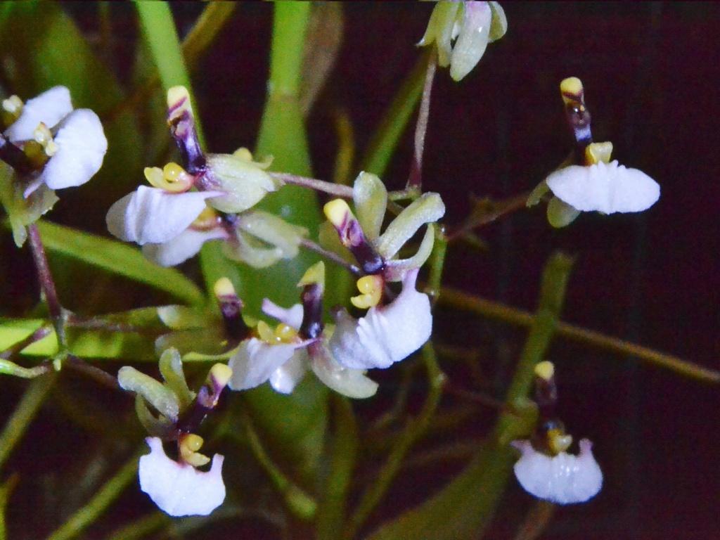 Ornithophorum radicans 121