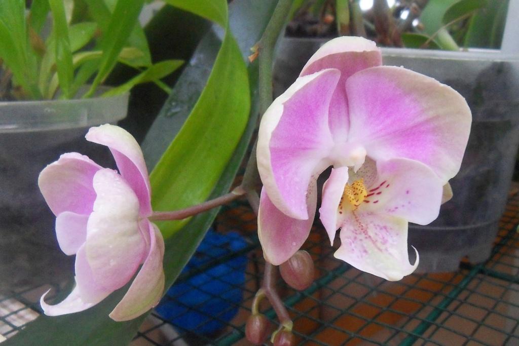 Phalaenopsis hybrides 133