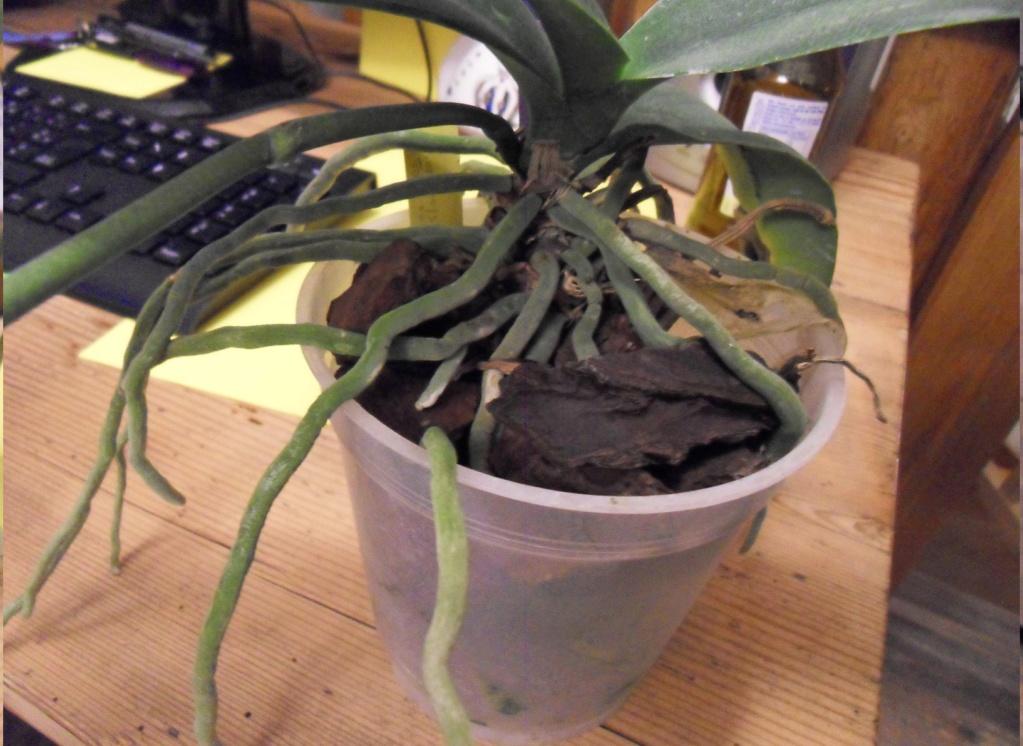phalaenopsis 134