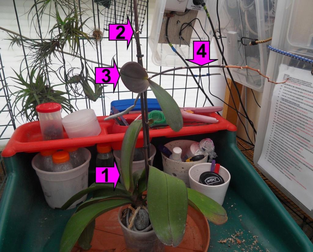Evolution de floraison chez un Phalaenopsis 135
