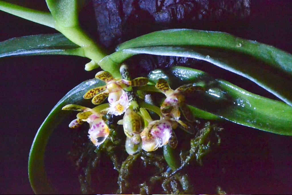 Gastrochilus soriosus 144