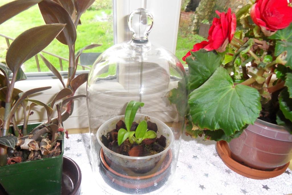 Bulbophyllum caranculatum 166