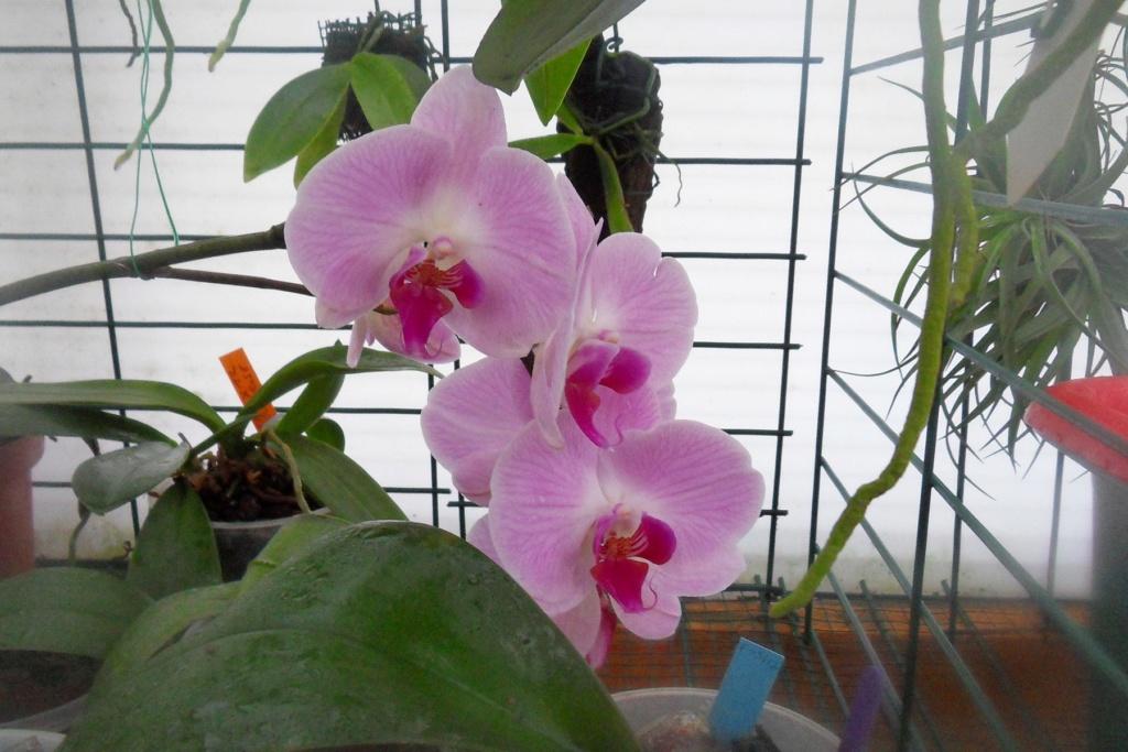 Phalaenopsis hybrides 226