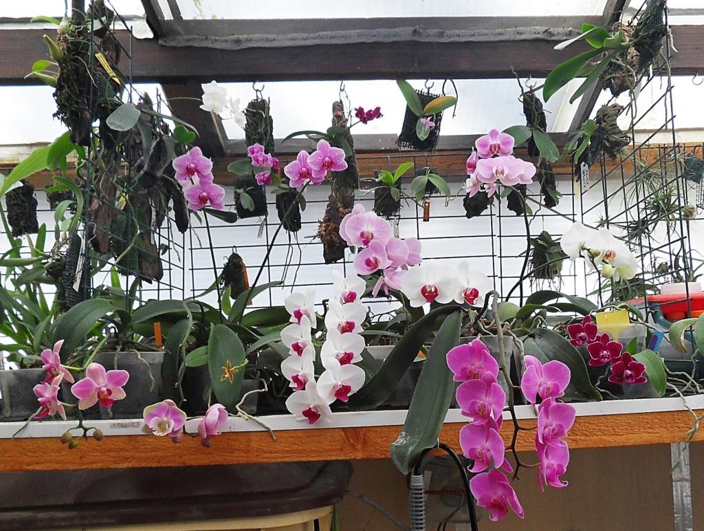 Le coin Phalaenopsis le 25 mars 2019 228
