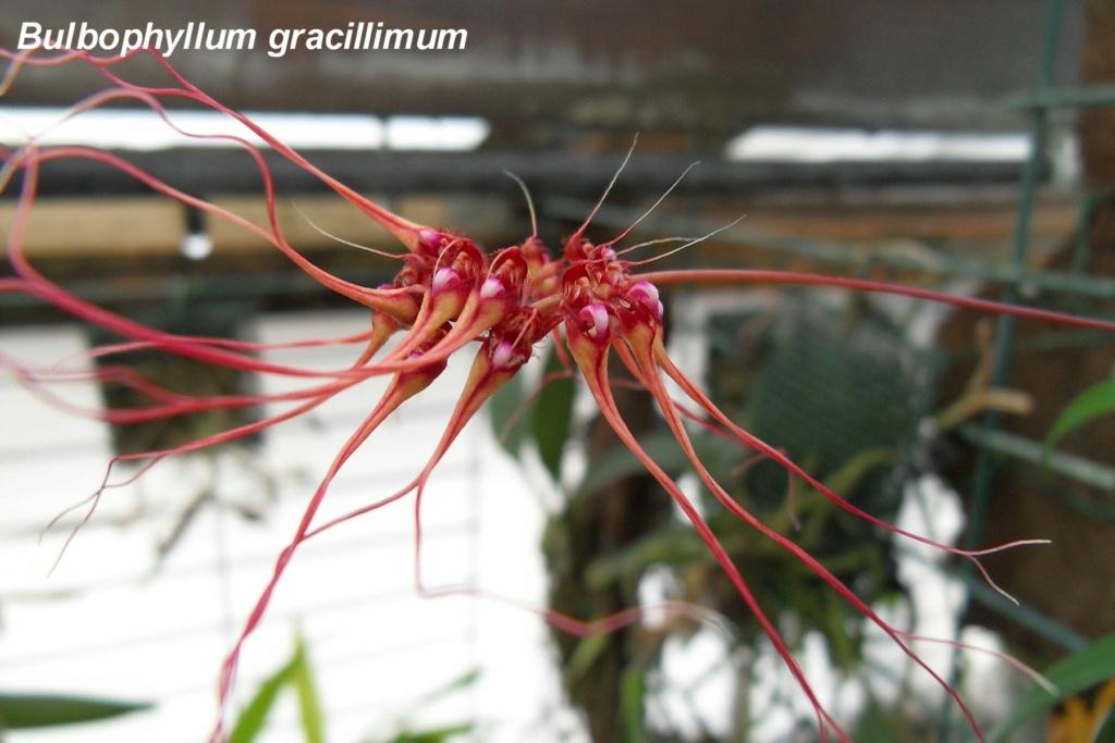 Bulbophyllum gracillimum 266
