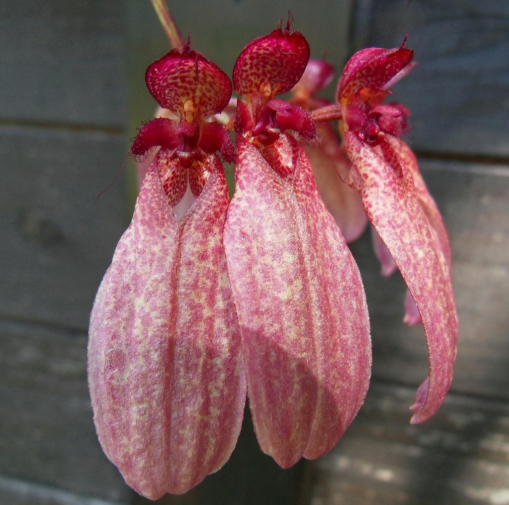 Cirrhopetalum eberhardtii 272