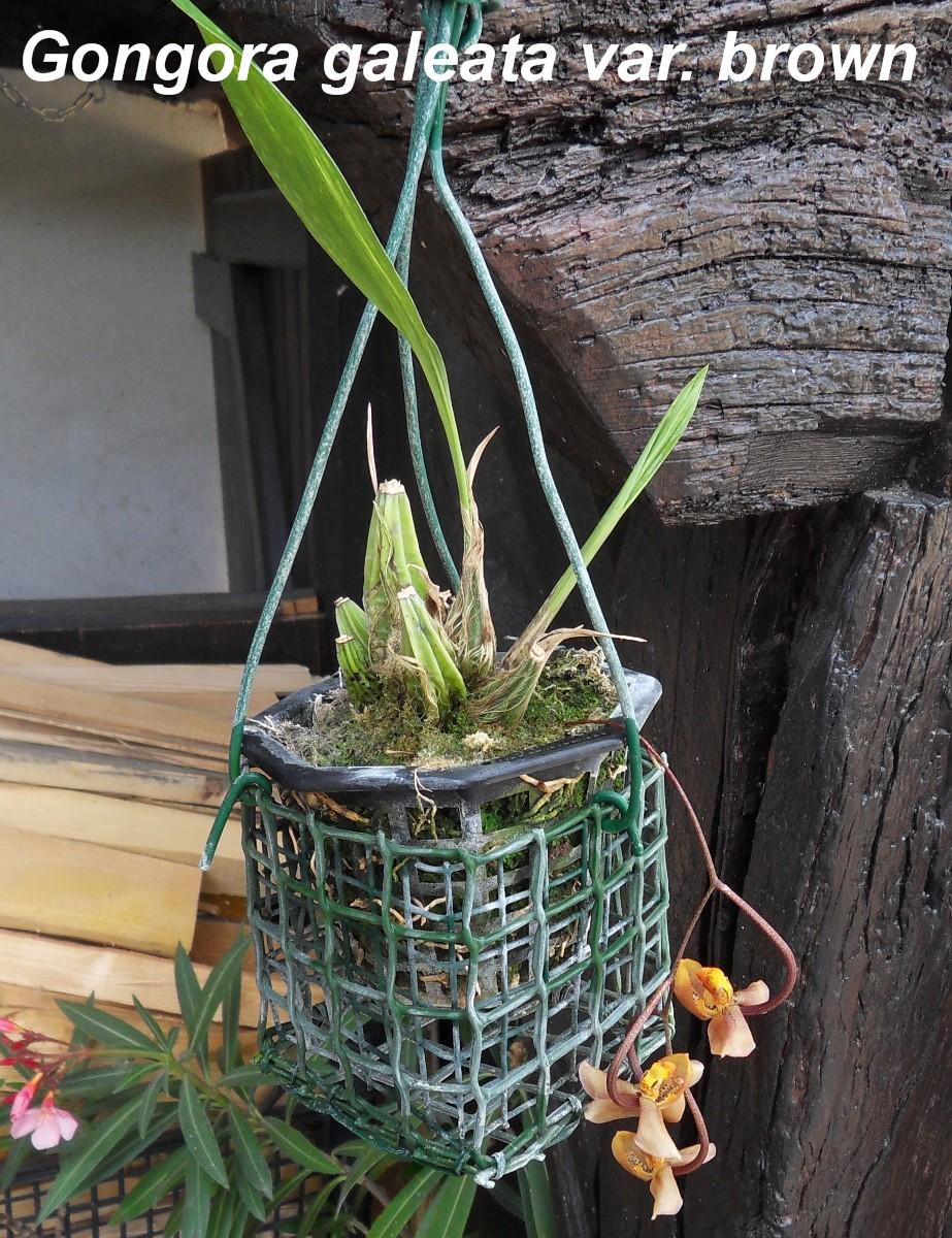 Gongora galeata var. brown 320