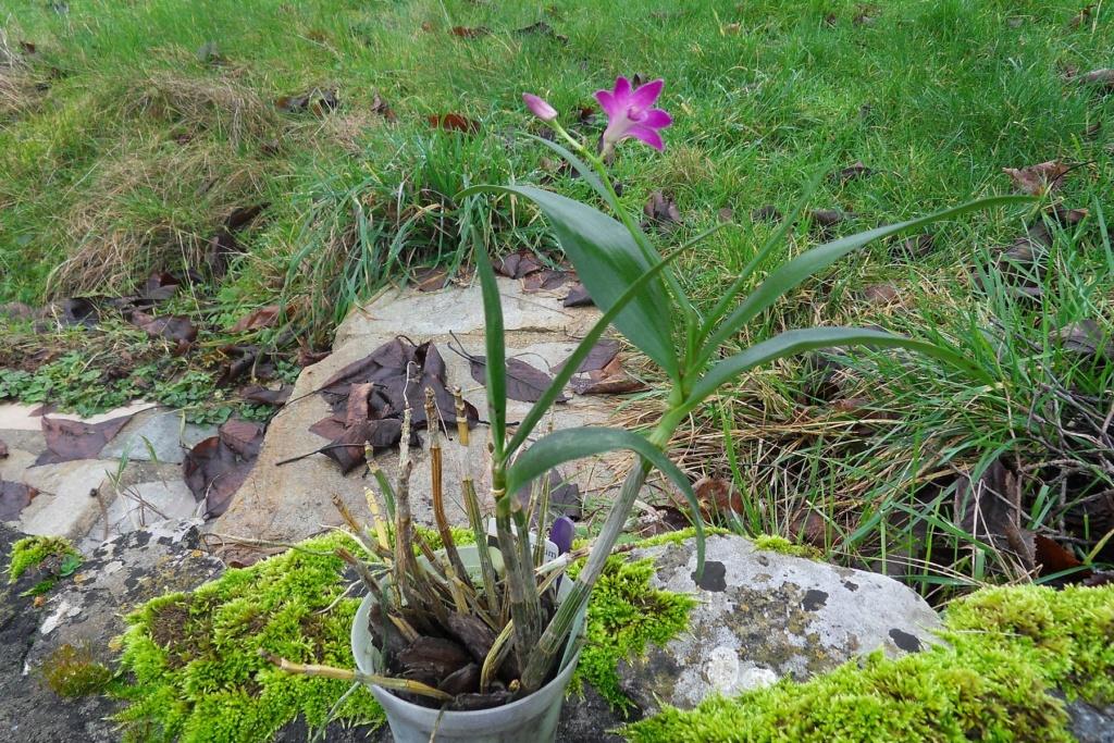 Dendrobium hybride. 325