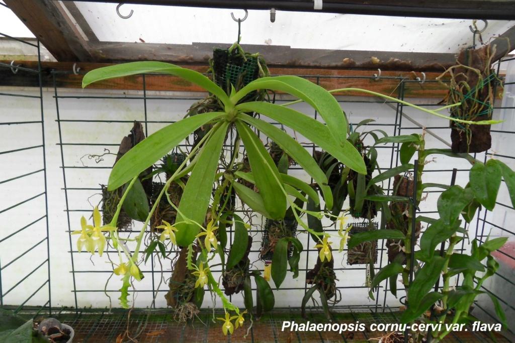 Phalaenopsis cornu-cervi var. flava 333