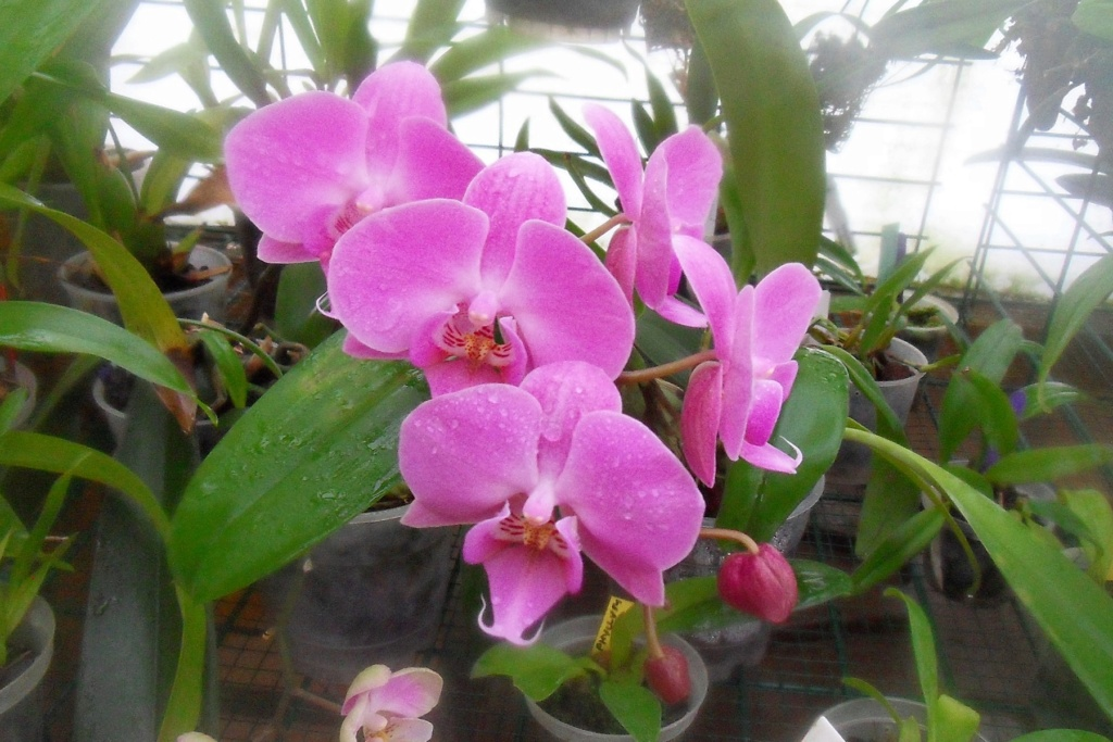 Phalaenopsis hybrides 412