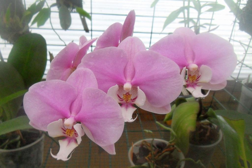 Phalaenopsis hybrides 511