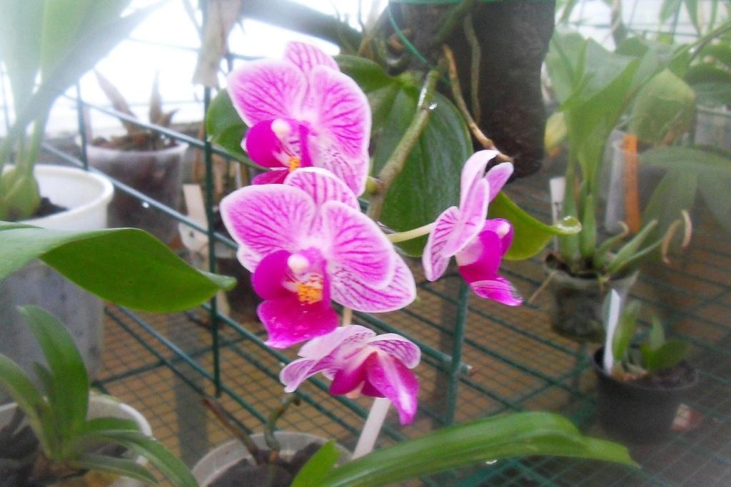 Phalaenopsis hybrides 611
