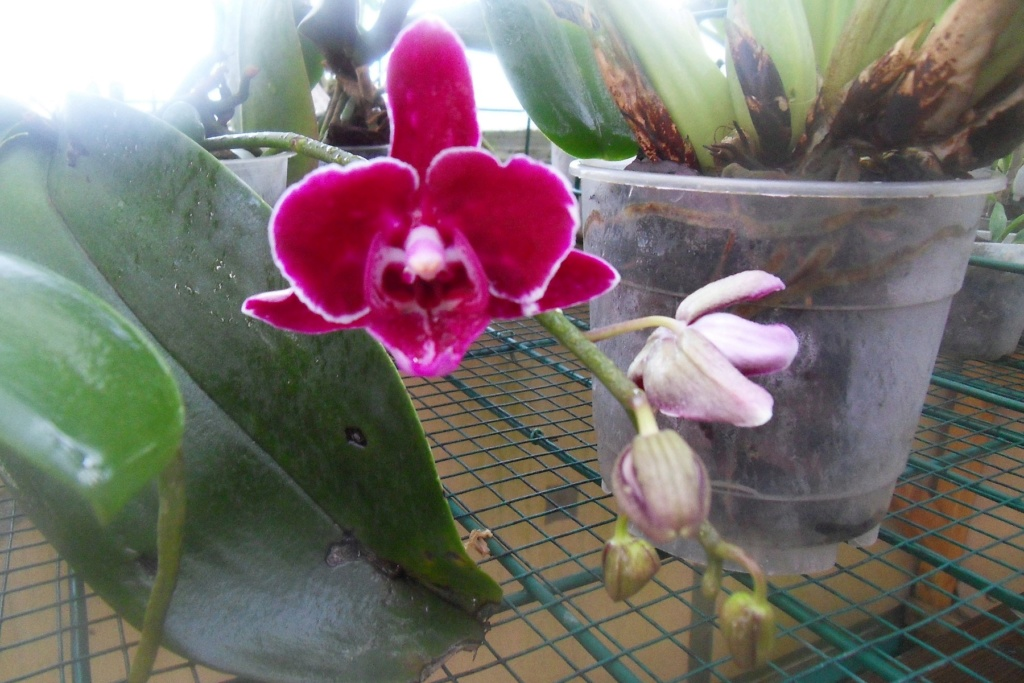 Phalaenopsis hybrides 710