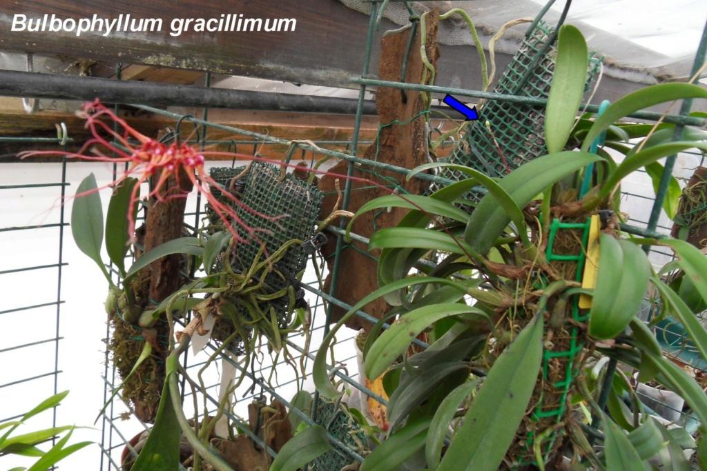 Bulbophyllum gracillimum B110