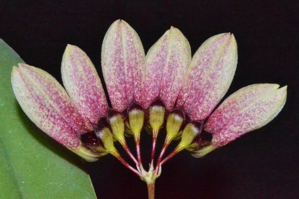 Bulbophyllum flabellum veneris Bb10