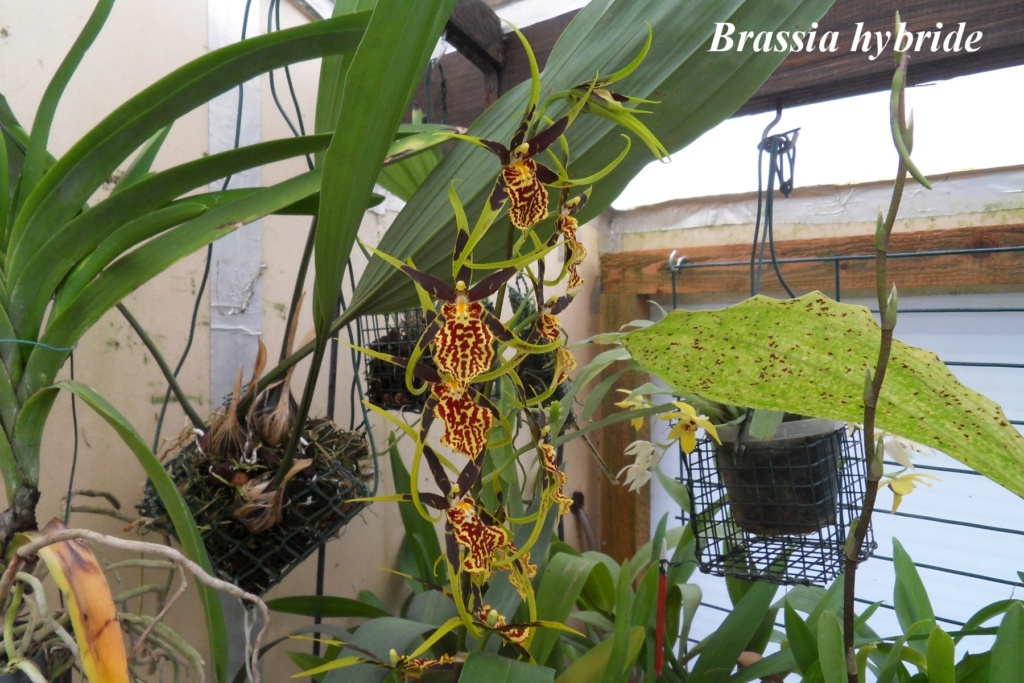 Brassia hybride Brassi11