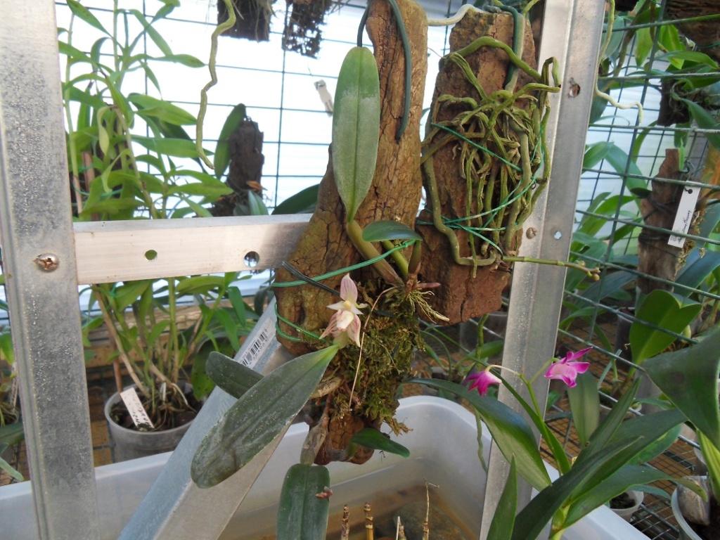 Bulbophylum ambrosia Bulb210