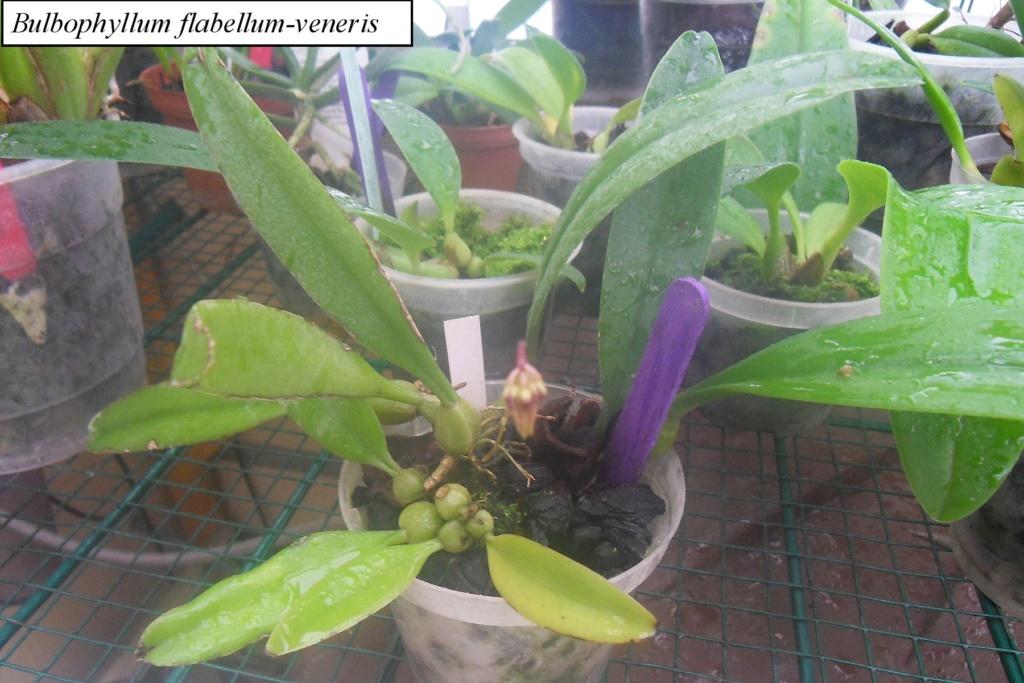 Floraisons à venir Bulbop13
