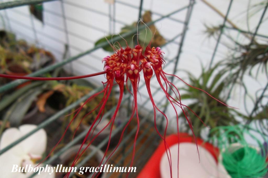 Bulbophyllum gracillmum Bulbop14