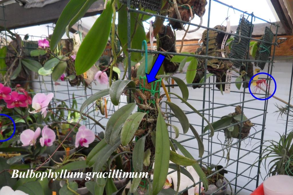Bulbophyllum gracillmum Bulbop15