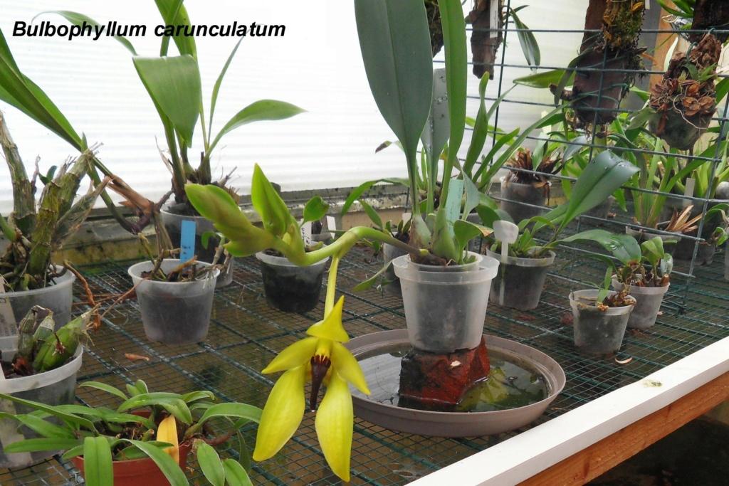 Bulbophyllum carunculatum Bulbop21