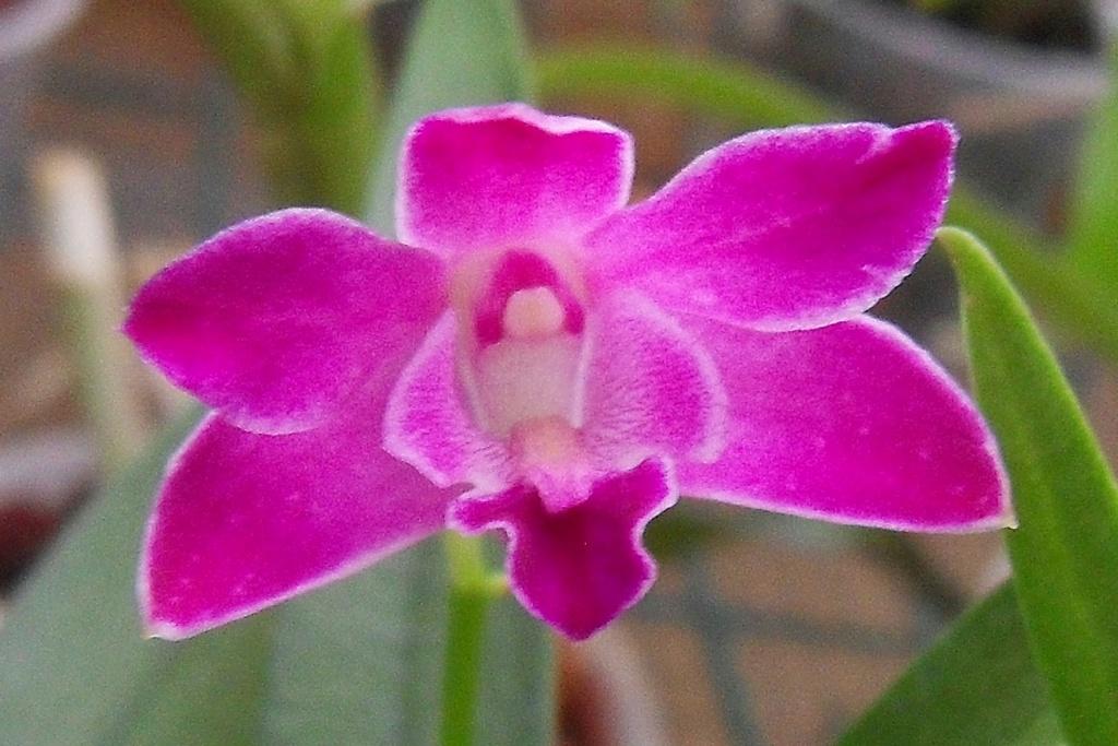 Dendrobium hybride Dendro14
