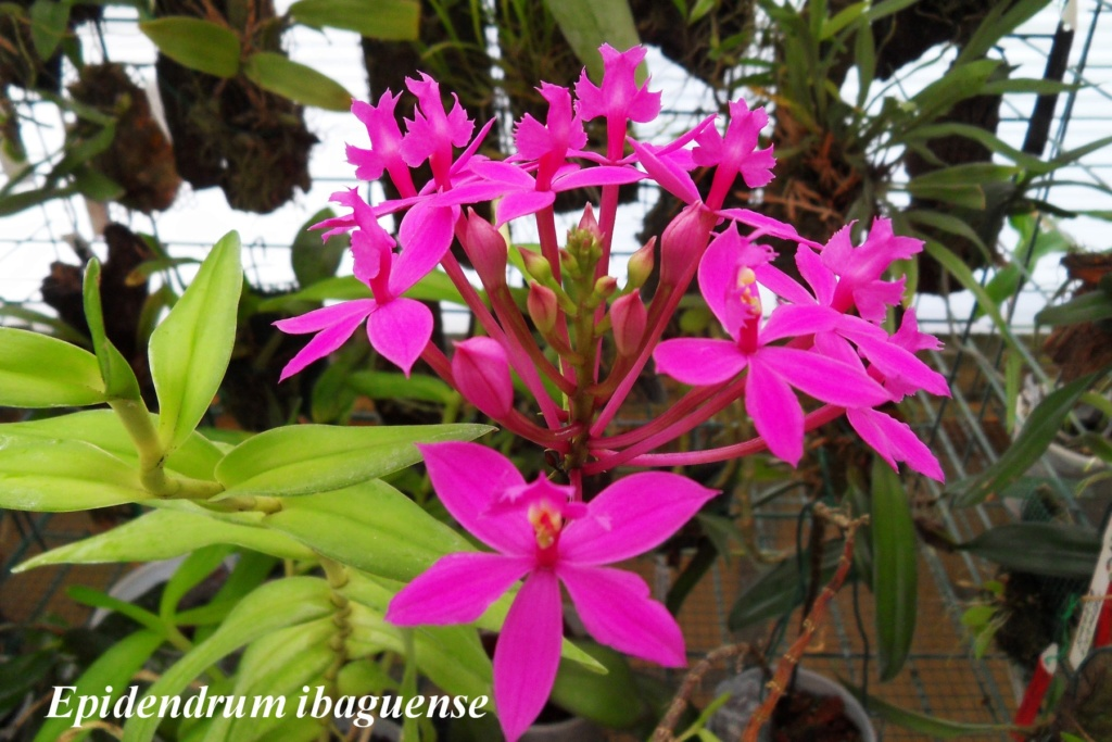 Epidendrum ibaguense Epiden12