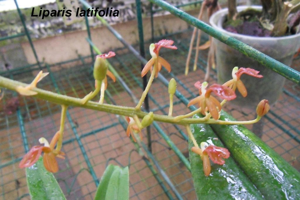 Liparis latifolia Lipari12
