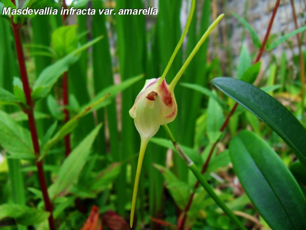 Masdevallia infracta var. amarella Masdev10