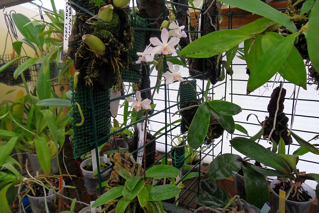 Phalaenopsis hybrides miniatures Mini_r10