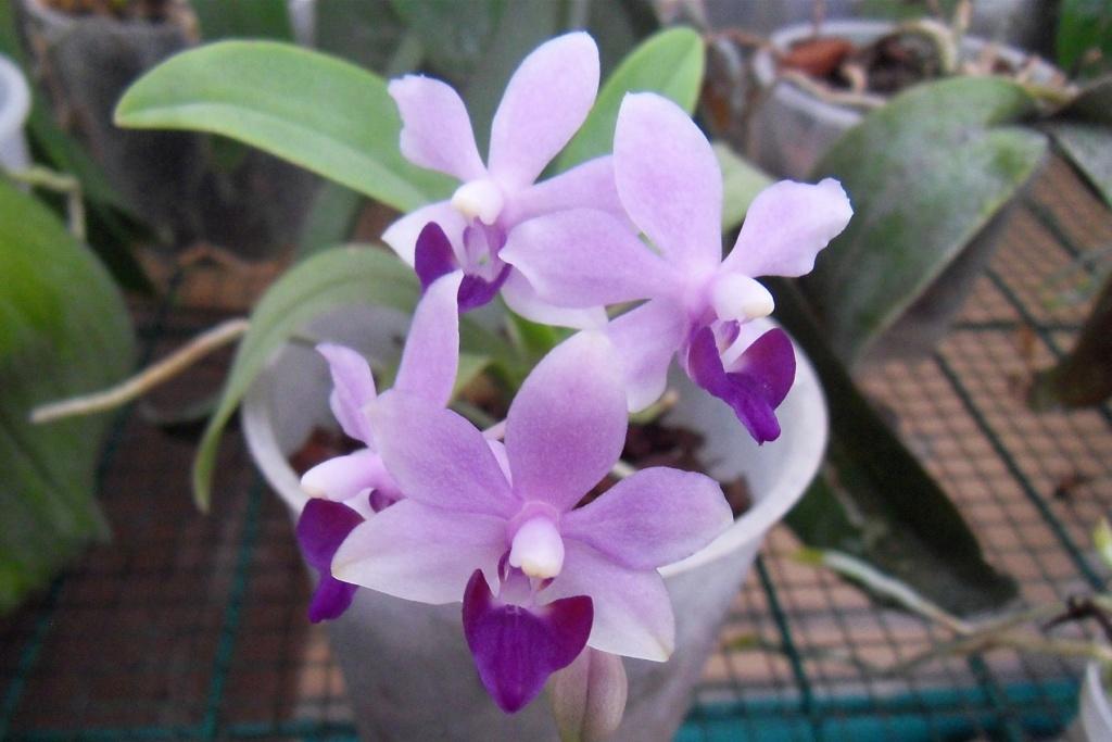Phalaenopsis hybrides miniatures Mini_v10