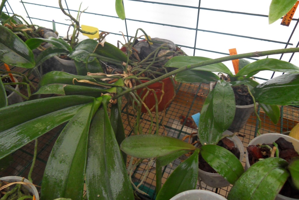 Sauver des racines sans coeur Phalae12