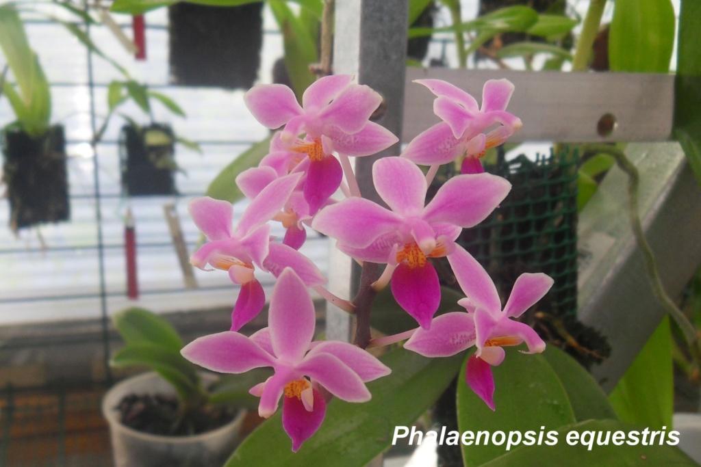 Phalaenopsis equestris Phalae14