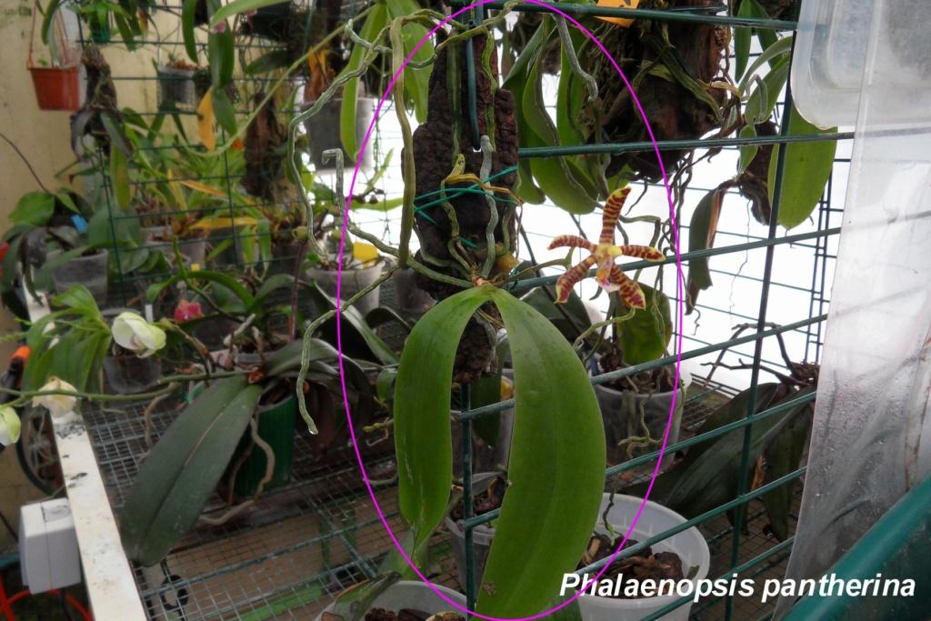 Quelques Phalaenopsis Phalae22