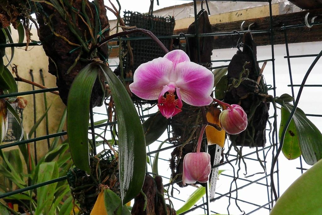 Quelques Phalaenopsis Phalae24