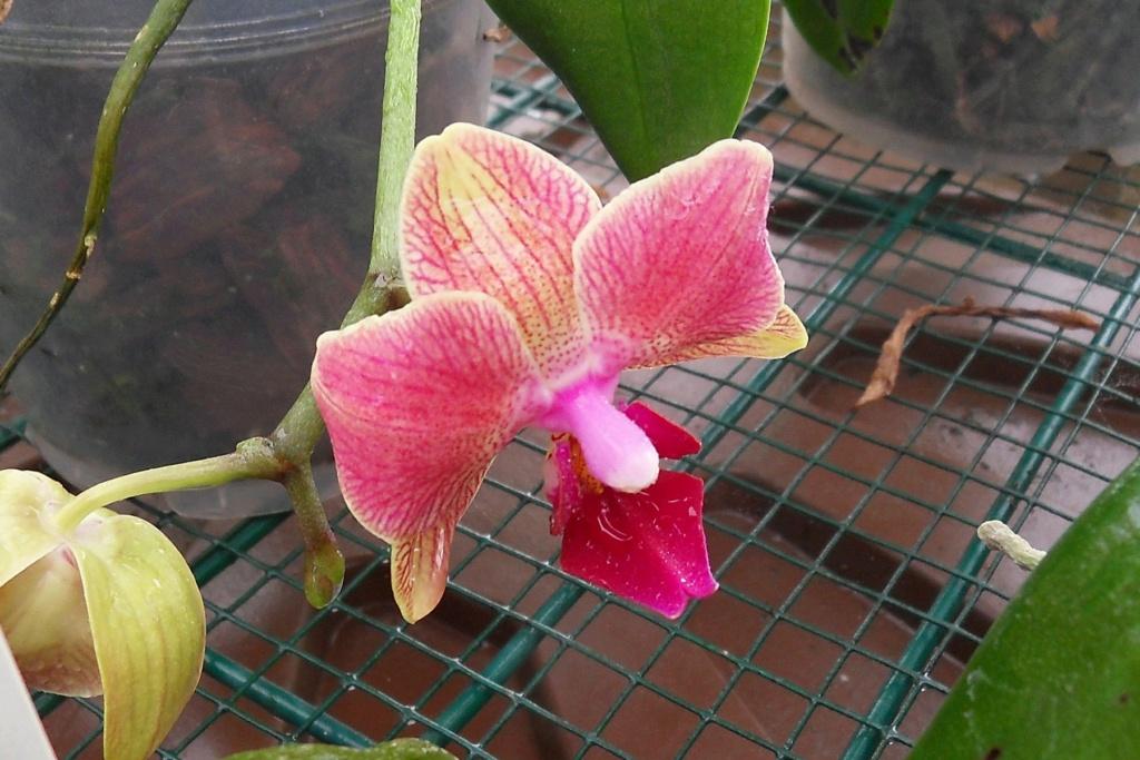 Quelques Phalaenopsis Phalae25