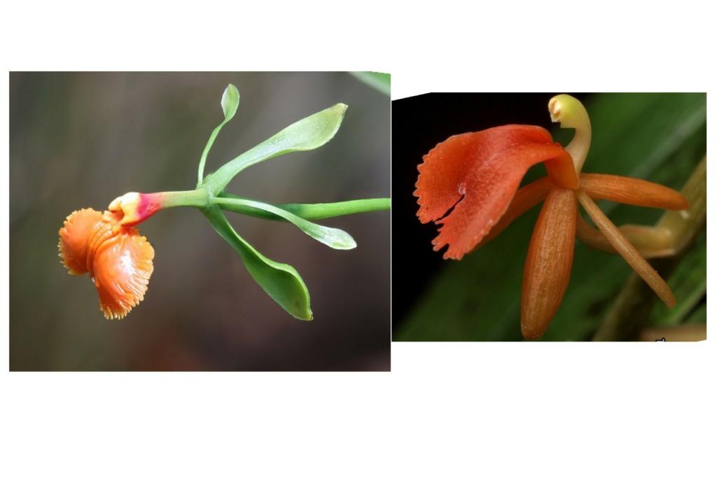 Liparis latifolia Projet14