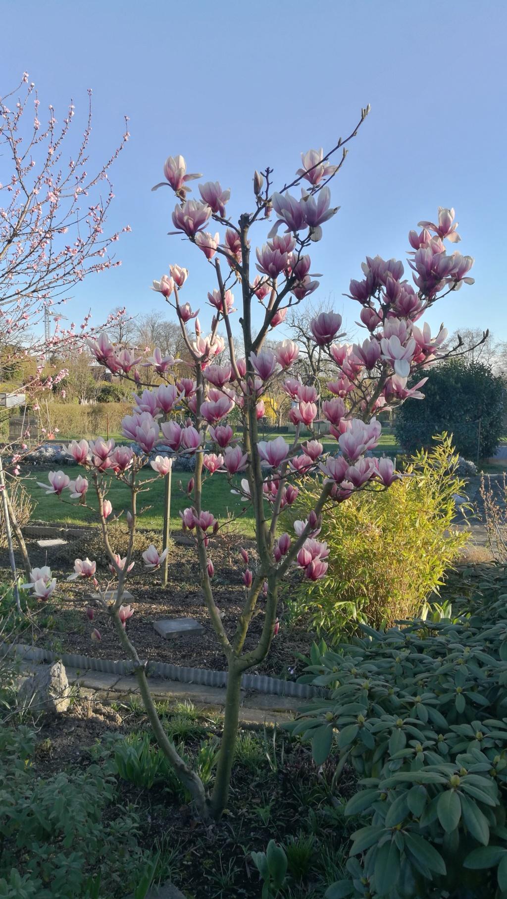 Magnolia - Magnolien - Seite 5 19032410