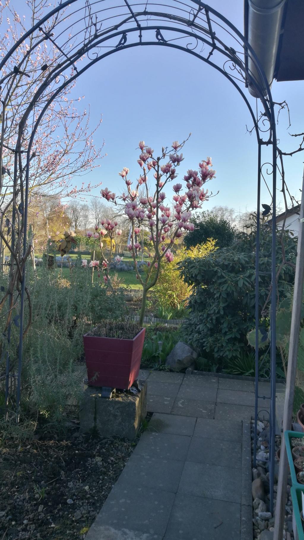 Magnolia - Magnolien - Seite 5 19032411