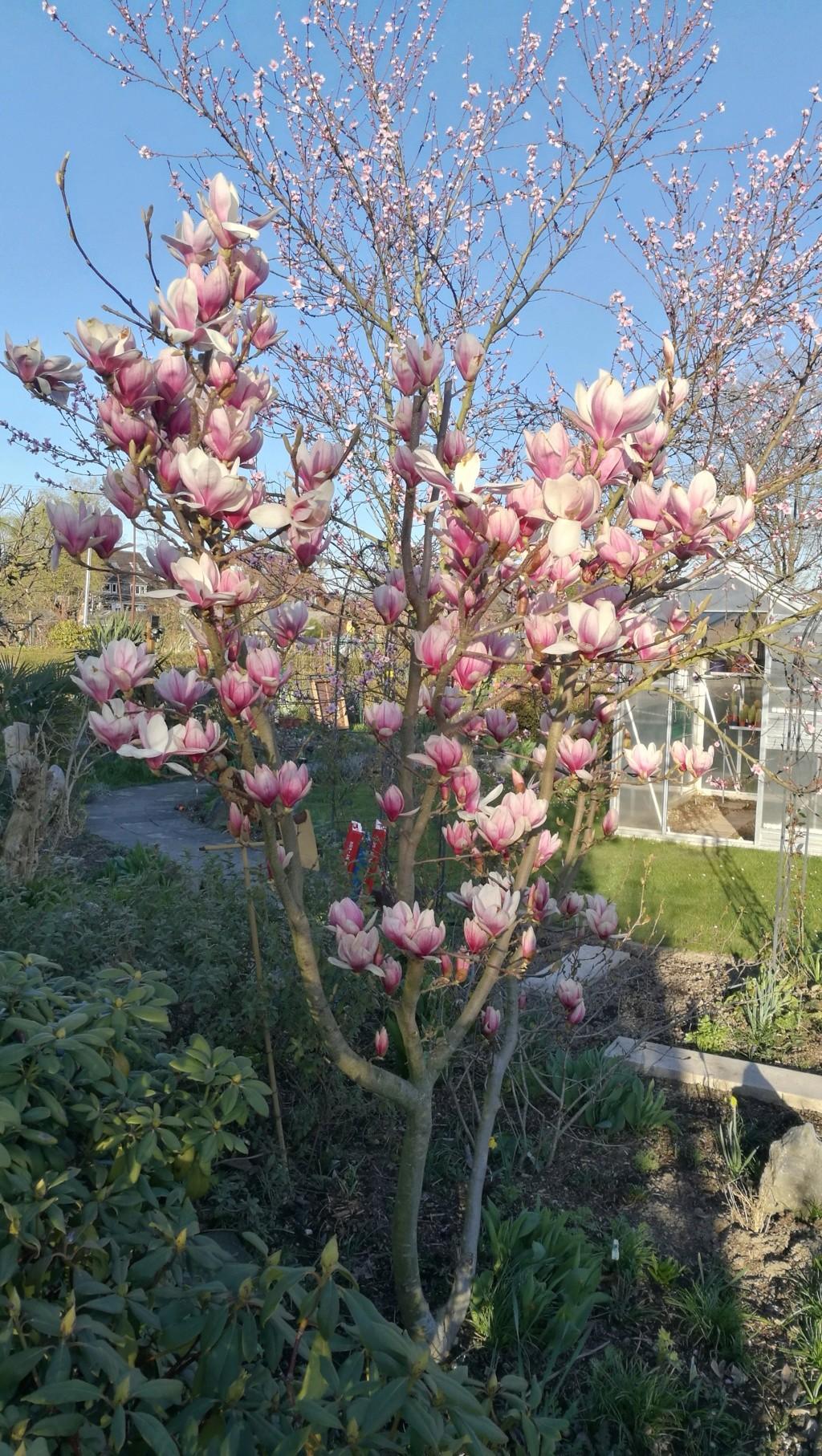 Magnolia - Magnolien - Seite 5 19032412