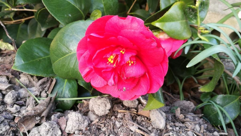 Camellia - Kamelien - Seite 7 19032413