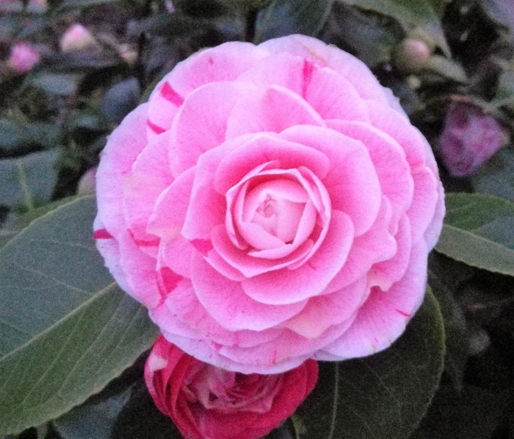 Camellia - Kamelien - Seite 7 19032710