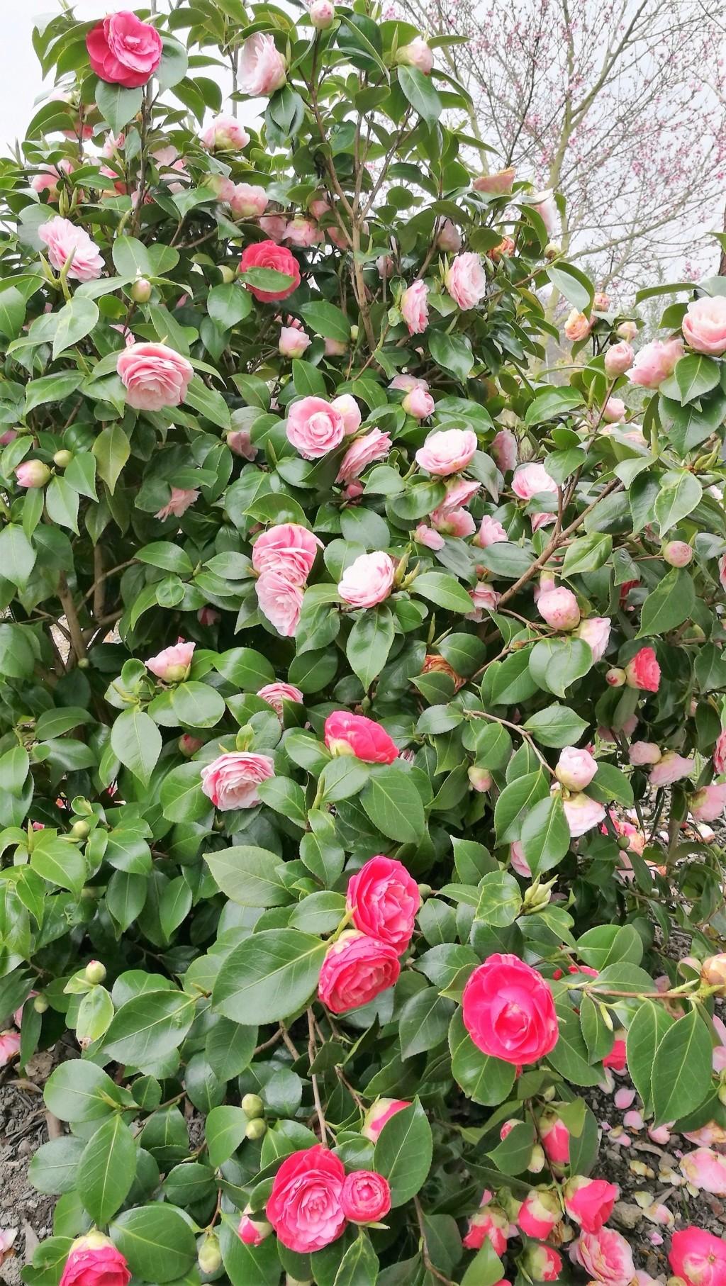 Camellia - Kamelien - Seite 7 19040820