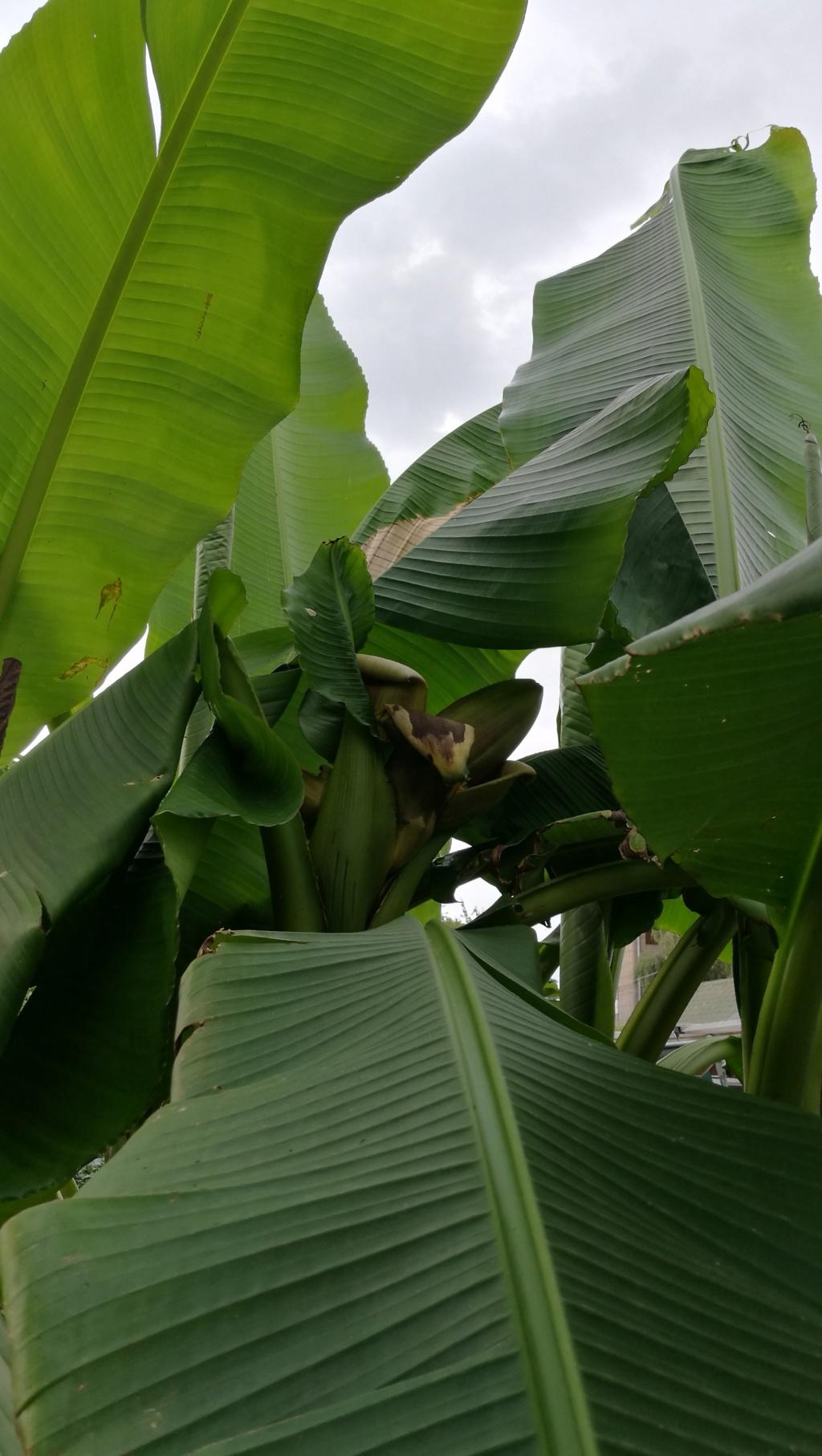 Bananengewächse (Musaceae) - Seite 8 Img_2015