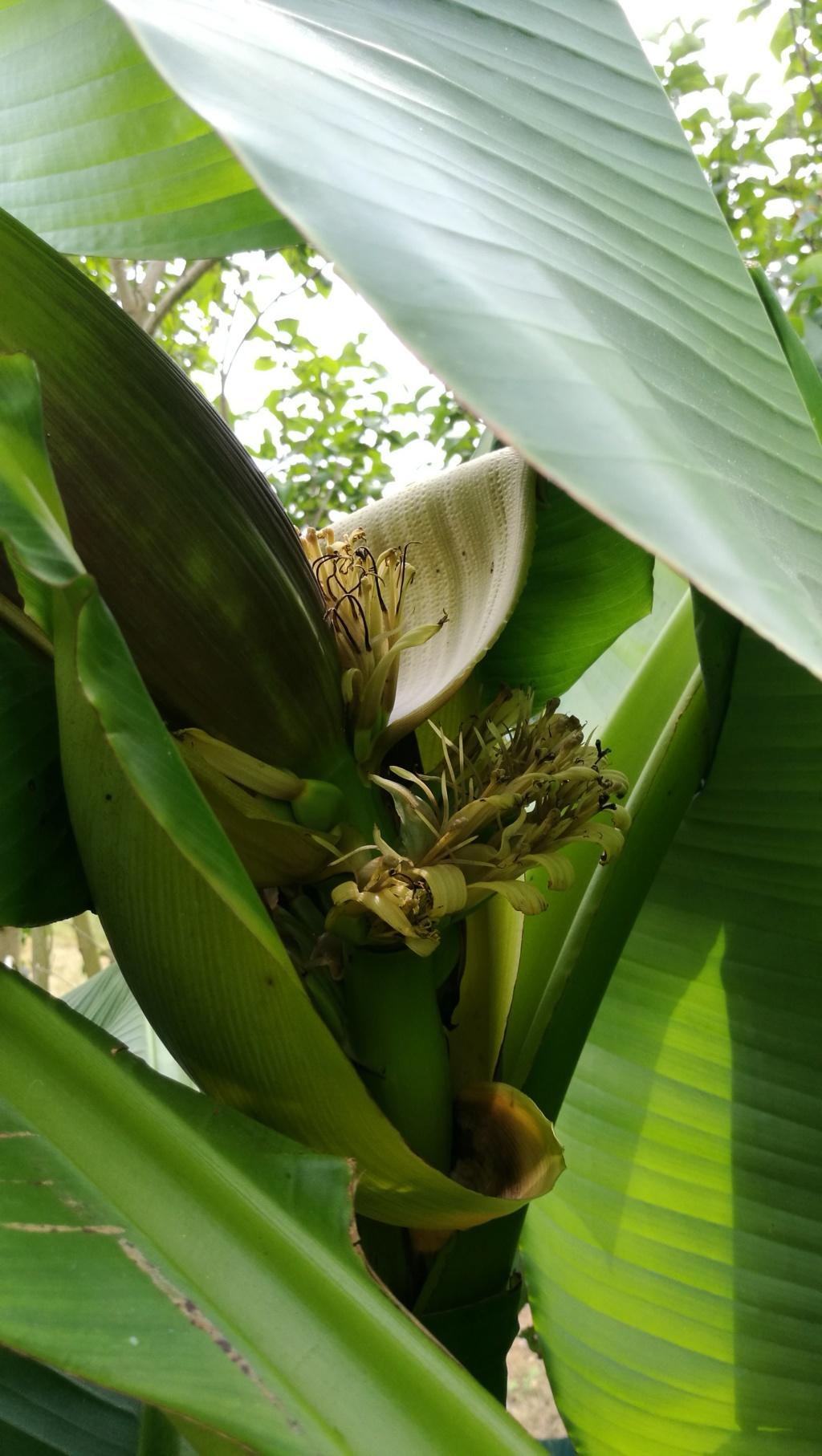 Bananengewächse (Musaceae) - Seite 8 Img_2016