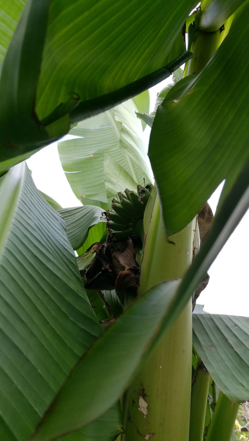 Bananengewächse (Musaceae) - Seite 9 Img_2062