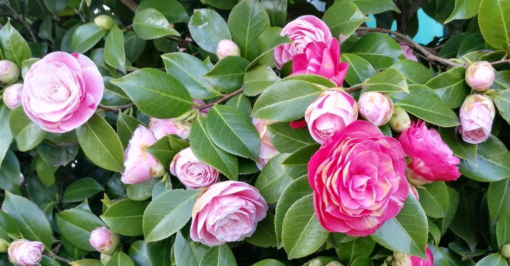 Camellia - Kamelien - Seite 9 Img_2142