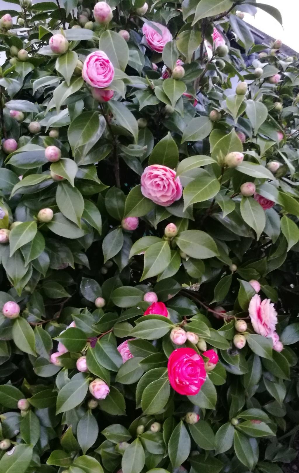 Camellia - Kamelien - Seite 9 Img_2143